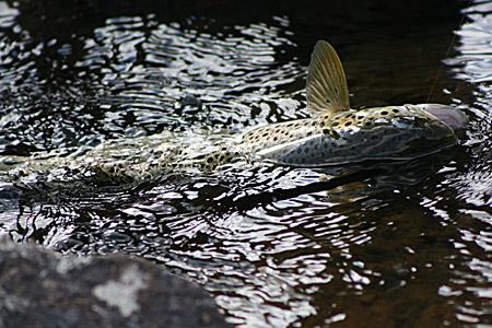 Öring på fluga i Piteälven