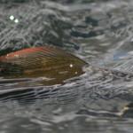 Flugfiske efter harr Bergträsket